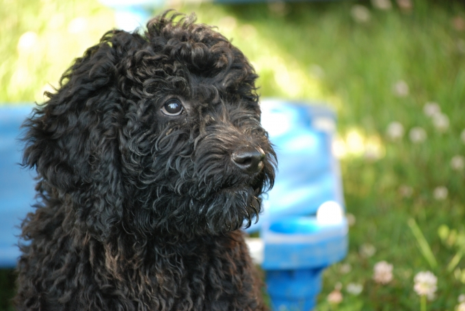 Puppies For Sale In Ontario Rover Barbets